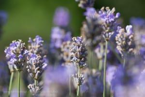 lavandula-angustifolia-echter-lavendel-english-lavender